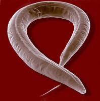 De worm c-elegans